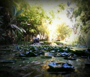 Huntington Library.  Among the Lilly Pads are plenty of koi fish that seem to like to make their presence known. www.thecaliforniac.com